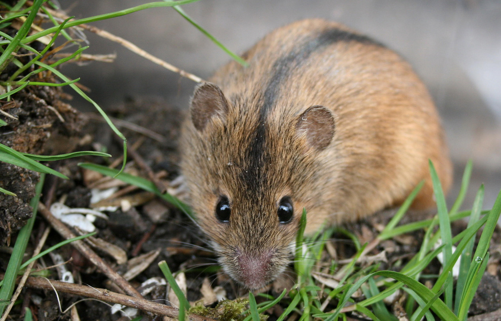 Фото полевой мышки крупным планом