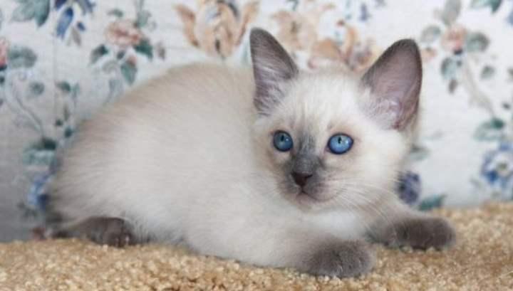 Голубые глаза у котика