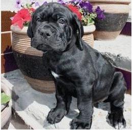 порода собак кане-корсо