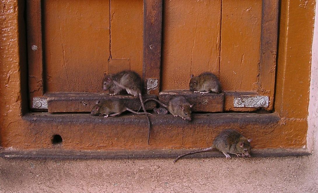 Несколько крыс возле сарая