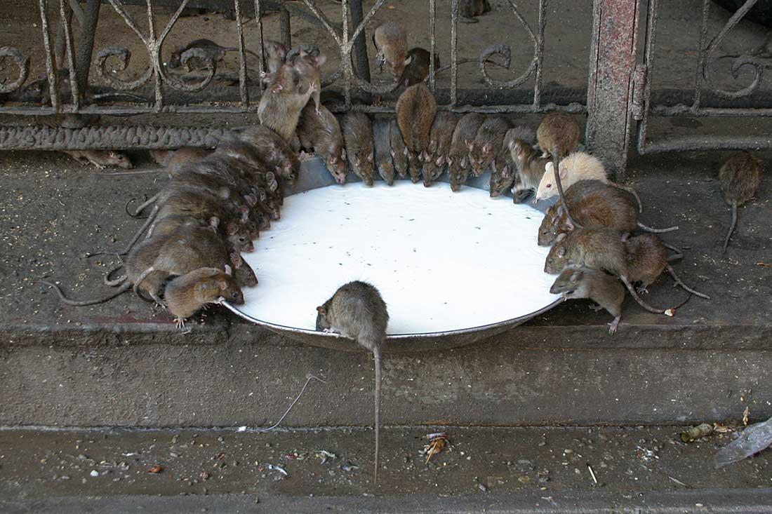 Отрава для крыс в домашних условиях