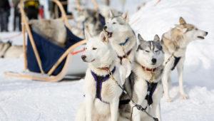 катание на собаках хаски