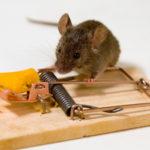 Мышь почти попалась в мышеловку