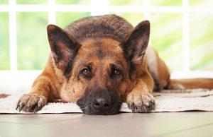 симптомы дисплазии суставов у собак