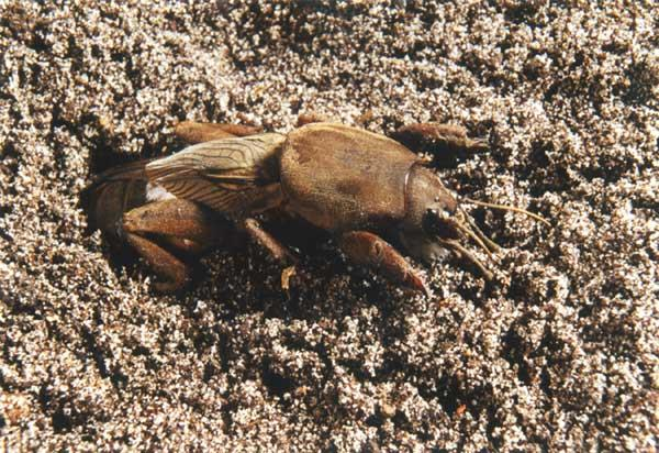 Нора медведки в почве