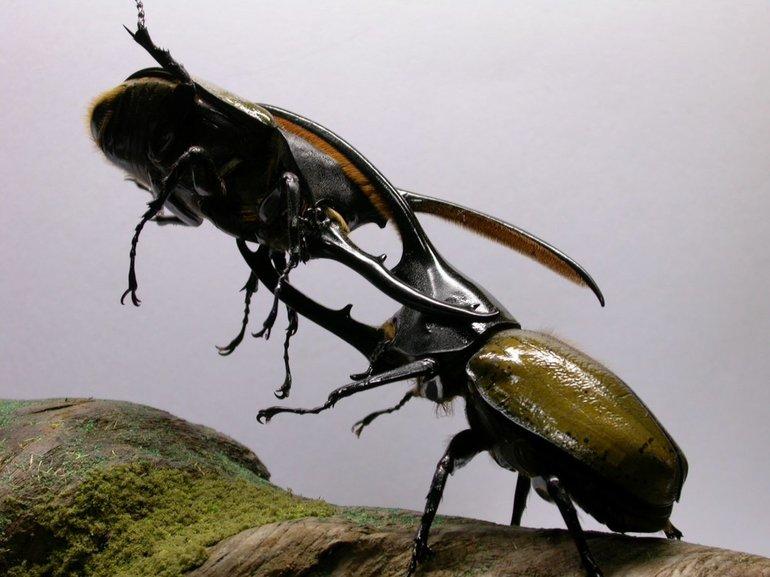 Геркулес — воинственный жук