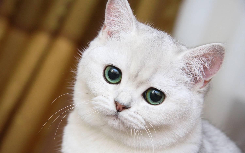 Фото красивой белой кошки