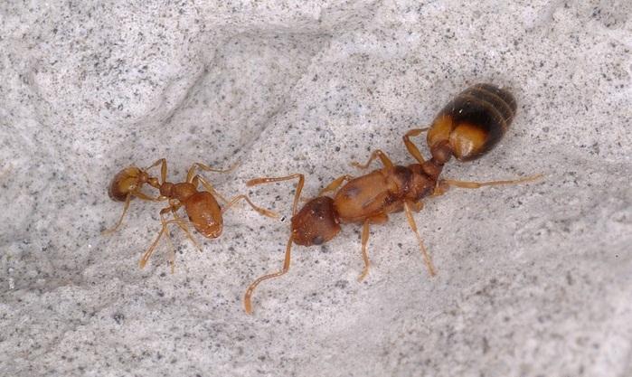 Разновидность муравьев - фараоны