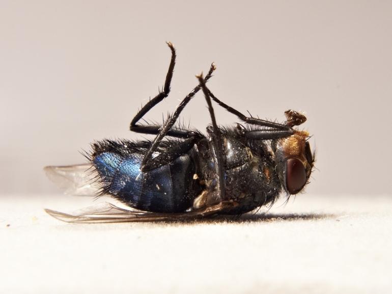 к чему снится мертвая муха
