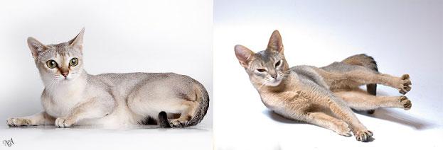 Абисанские голубые кошки