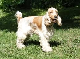 стандарты собаки спаниель