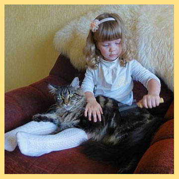 Девочка арсчесывает кота мейн кун
