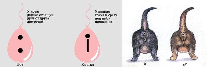 Пол кота по половым органам