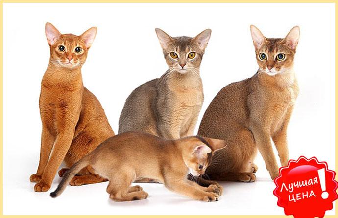 Абиссанские кошки и лучшая цена
