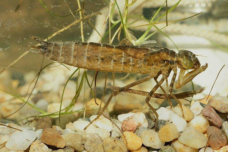 Чем питаются стрекозы и их личинки