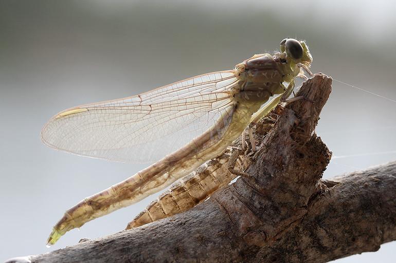 Чем питается стрекоза и ее личинка