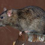 Крыса, сидящая на бочке