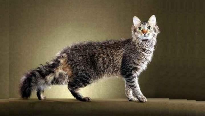 Кошка породы лаперм полосатая