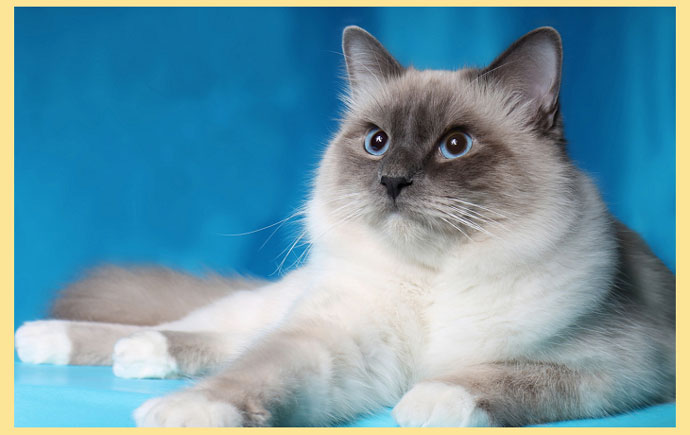 Кошка бирманская окраса блю поинт