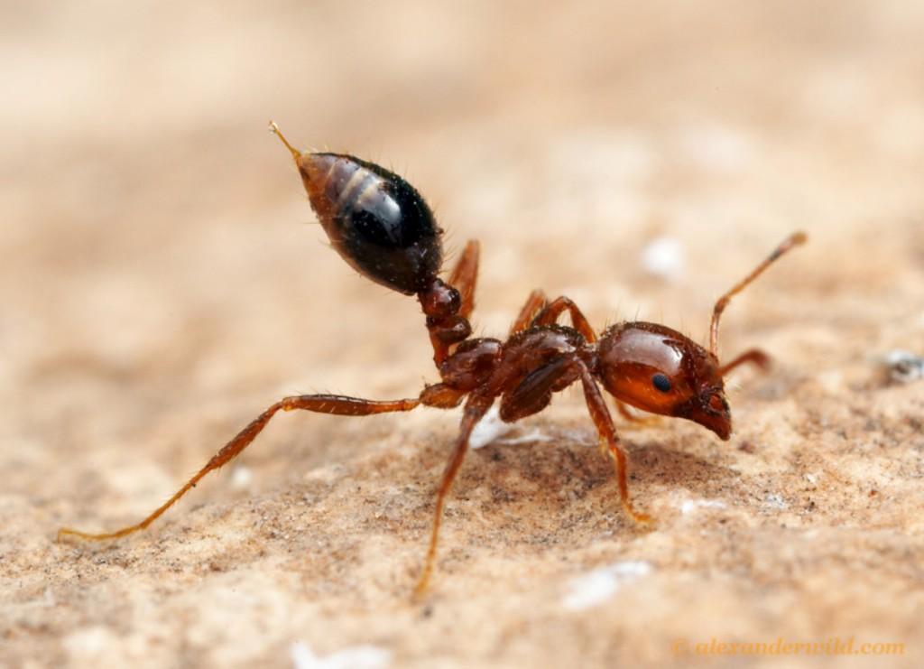 Увеличенное фото красного муравья