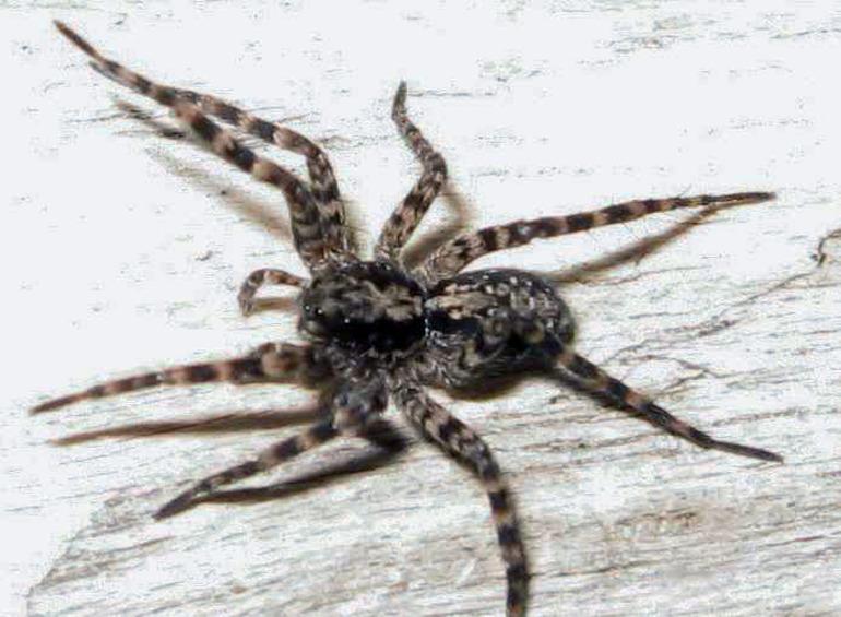 Классификация домашних пауков