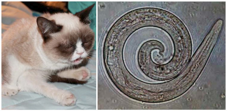 Глисты у кошек фото с названиями, признаки