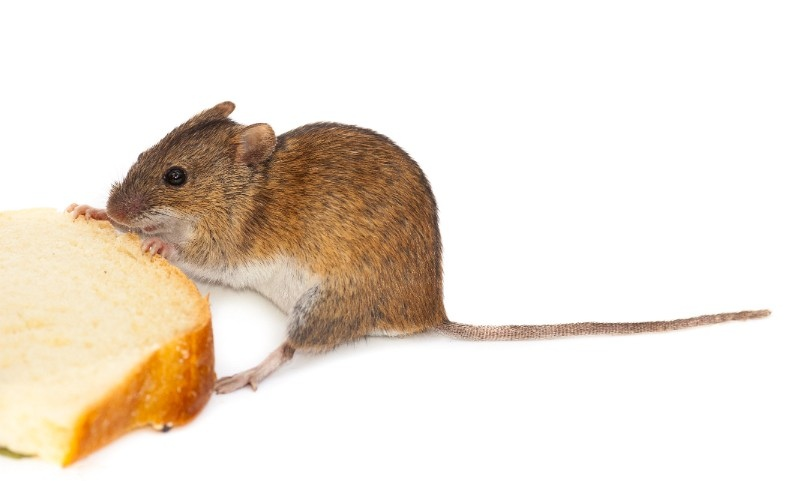Фото мыши с хлебом