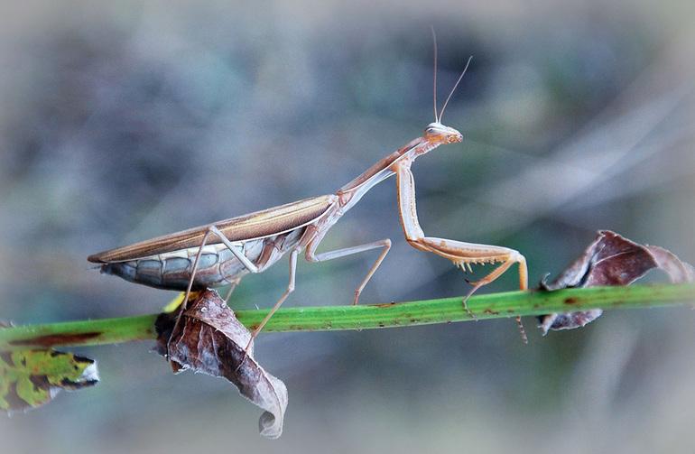 Особенности разновидностей насекомого богомола