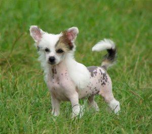китайская хохлатая щенок