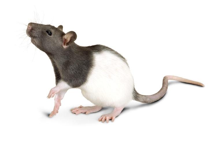 Внешний вид крысы