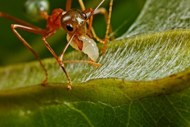 Необычный вид муравей-ткач