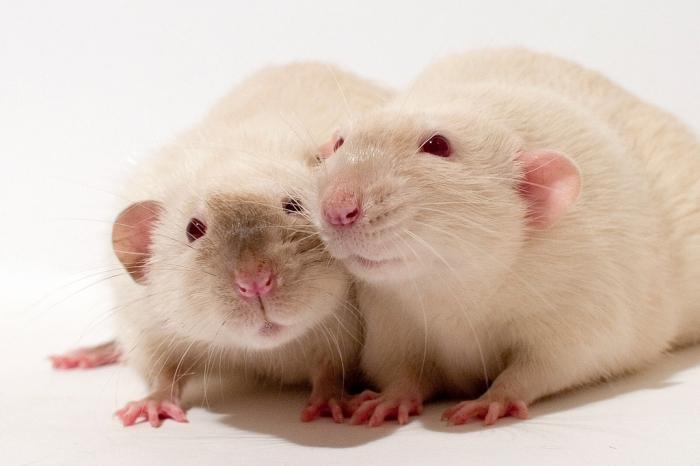 Пара белых крыс