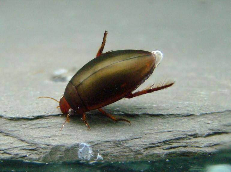 Разновидности жуков-плавунцов
