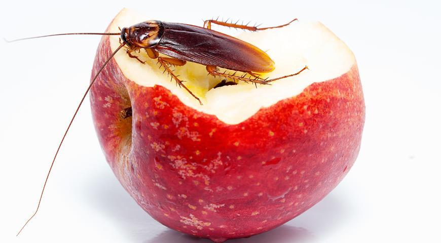 Фото таракана на яблоке