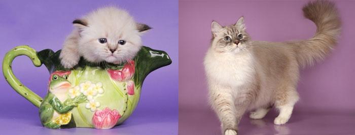 Невская макарадная кошка и котенок
