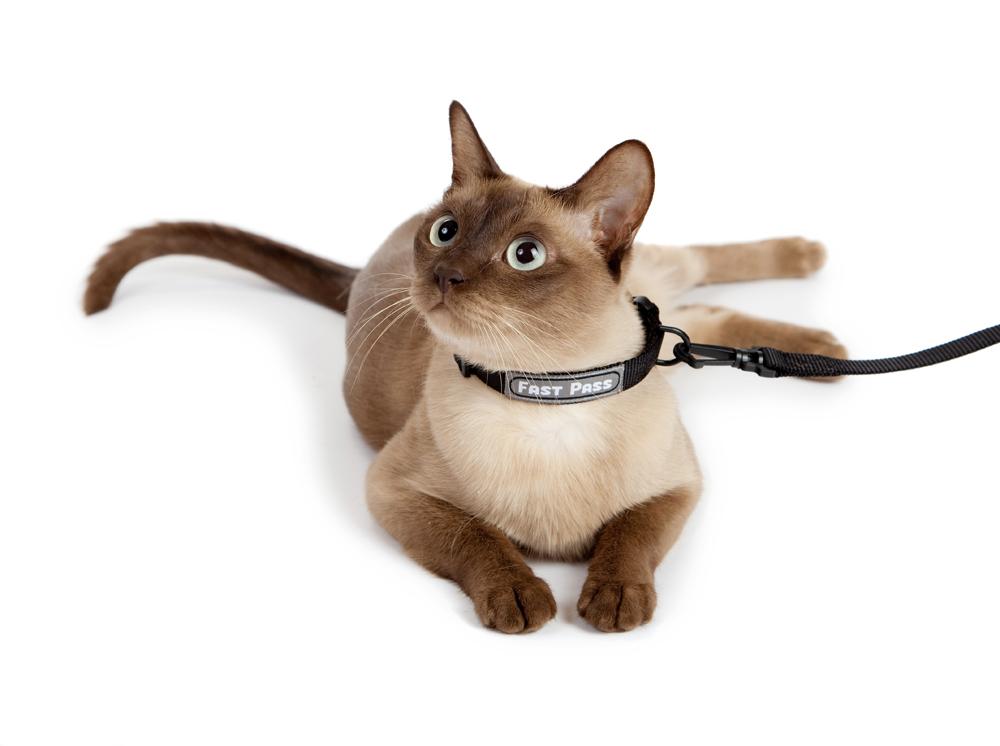 Противоблошиный ошейник на кошке