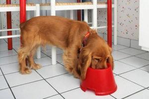 собака спаниель кормление