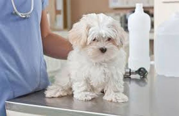 Собаку можно лечить в домашних условиях