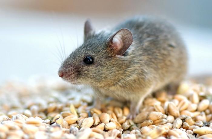 Грызун и крысиный яд длительного воздействия