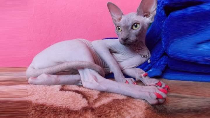 Розовый маникюр для кошки