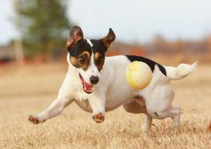 выбор щенка джек-рассел-терьер