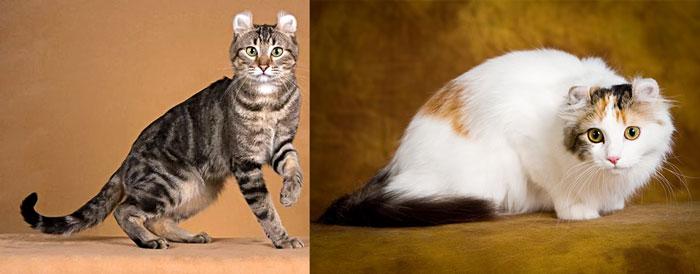 Кошки американский керл