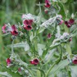 Чернокорень - растение, неприятное для грызунов