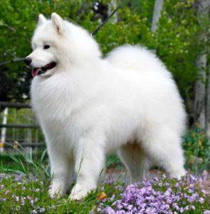 самоедская порода собаки