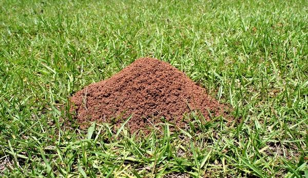 Колония муравьев на газоне
