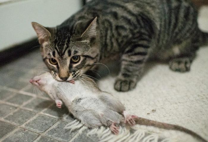 Кот, поймавший грызуна