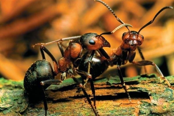 Лесные муравьи в природной среде