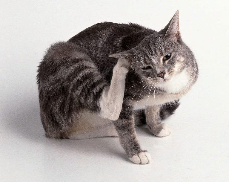 Зуд у кота из-за блох
