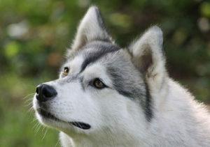 имя для собак породы сибирский хаски
