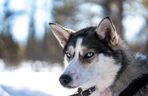 история появления северных собак